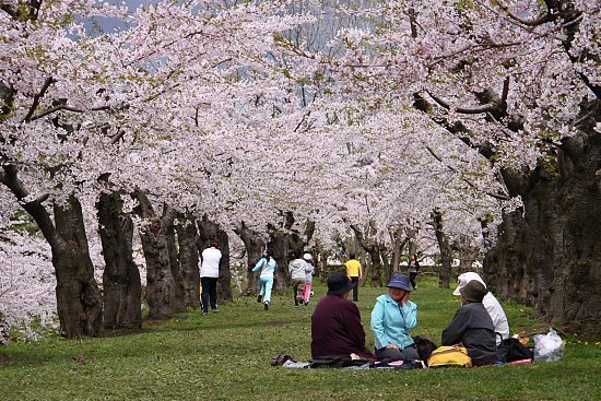 making it arguably Hokkaido 's most famous cherry blossom spot