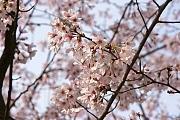 'Kagoshima' from the web at 'http://www.japan-guide.com/blog/g/sakura12_120402_kagoshima_t2.jpg'