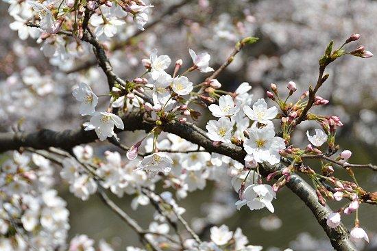 japan guide cherry blossom report