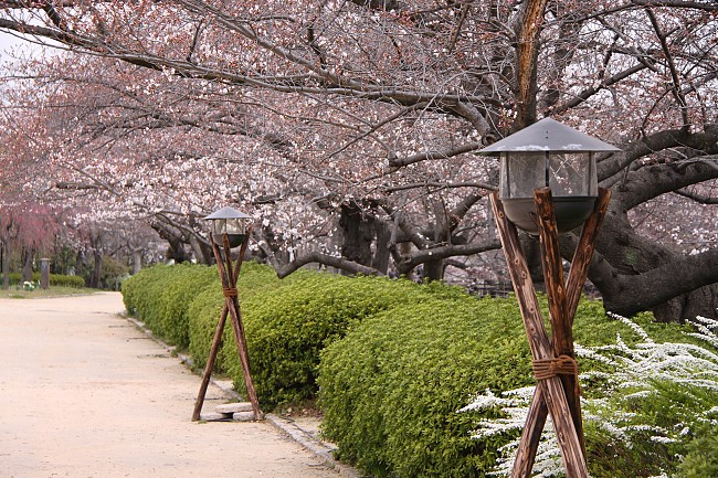 Cherry Blossom Report 2013 Osaka Report