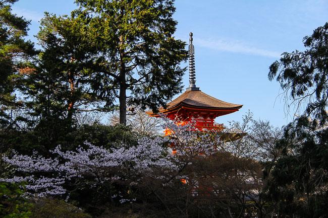 Kyoto Cherry Blossom 2014