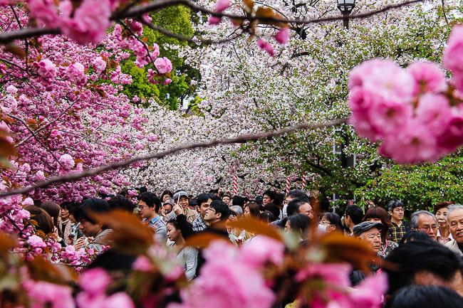 japan guide cherry blossom 2014