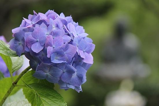 Sean S Japan Travel Journal Hydrangea Flowers In Kamakura