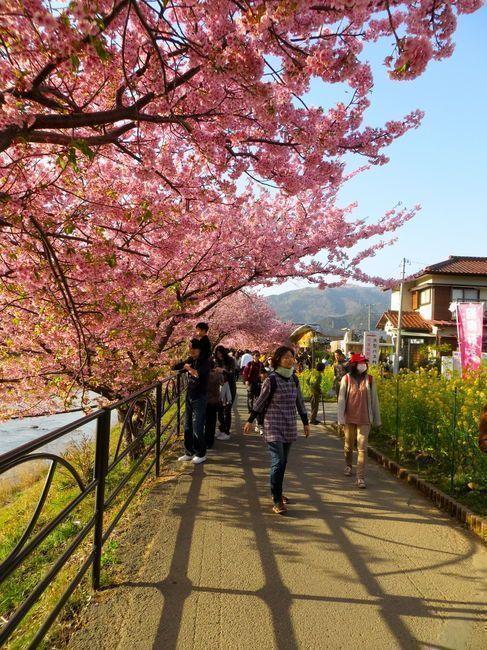 Japan Travel Reports Kawazu Cherry Blossom Matsuri