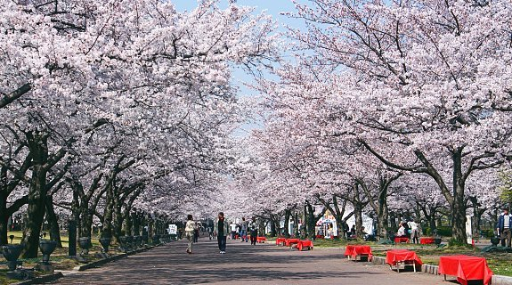 Image result for tokyo cherry blossoms