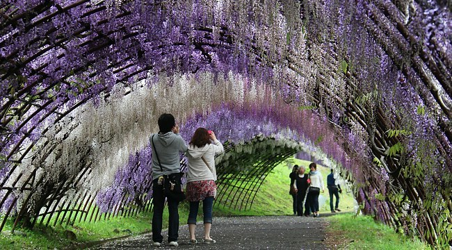 Kitakyushu travel kawachi fujien wisteria garden Wisteria flower tunnel path in japan