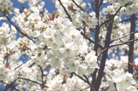 Vancouver Sakura Diary Beginner S Guide