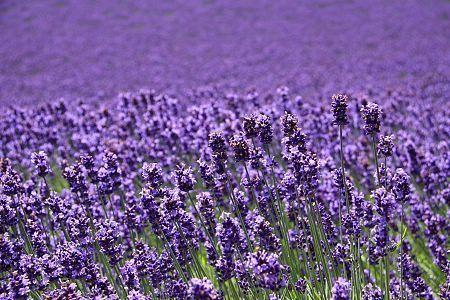 Schauwecker S Japan Travel Blog Furano Lavender In Full Bloom