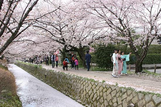 Resultado de imagem para hanami em kyoto