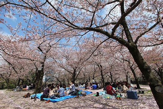 Hanami picnics at Nishinomaru Garden