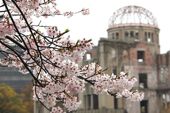 cherry blossom report 2013  hiroshima report
