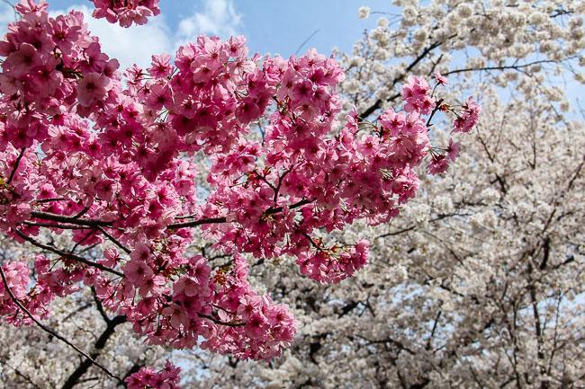 cherry blossom report 2014 kyoto report