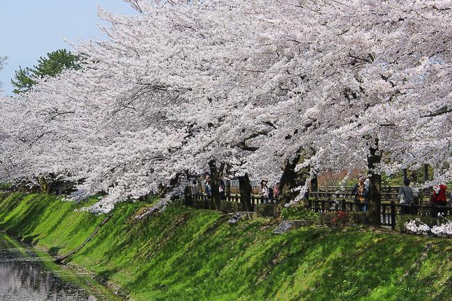 Cherry Blossom Reports 2016 Kanazawa Full Bloom