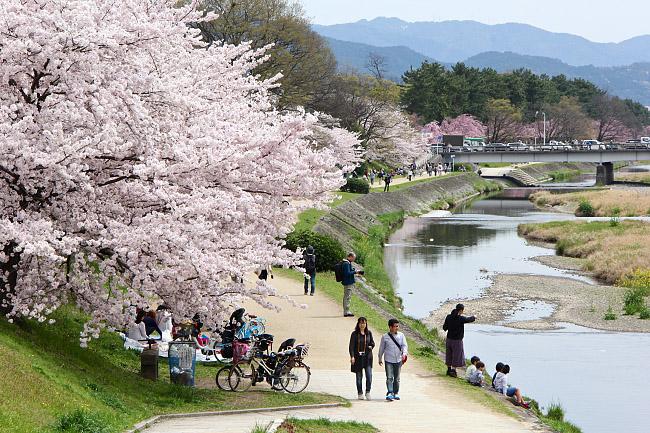 Cherry Blossom Reports 2016 - Kyoto: Full Bloom
