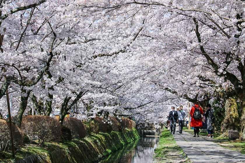 Full Bloom At Philosopher S Path Tetsugaku No Michi