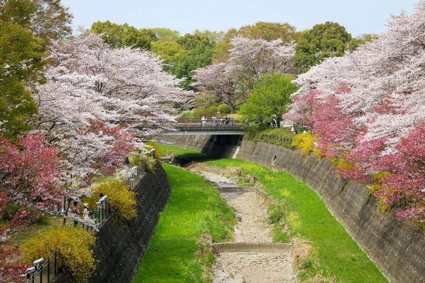 Cherry Blossom Reports 2018 Tokyo Petals Falling