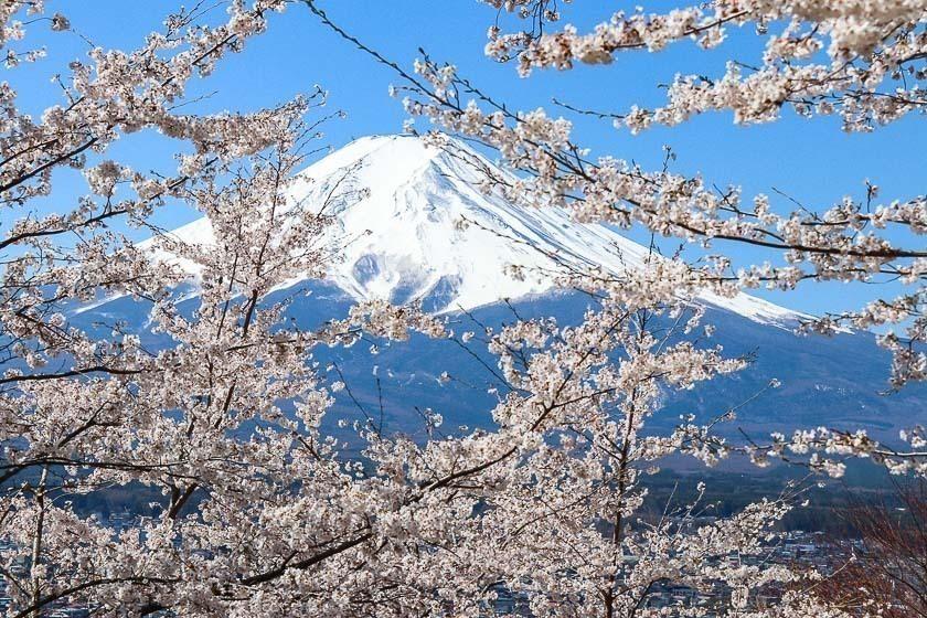 Cherry Blossom Reports 2019 - Mount Fuji: Full Bloom