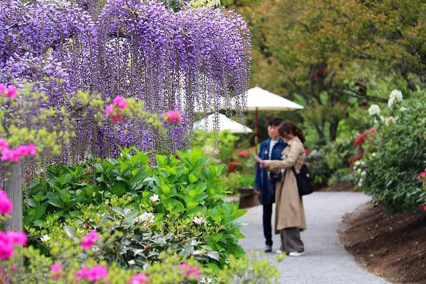 Sam\'s Japan Travel Journal: Wisteria Watching at Ashikaga Flower Park