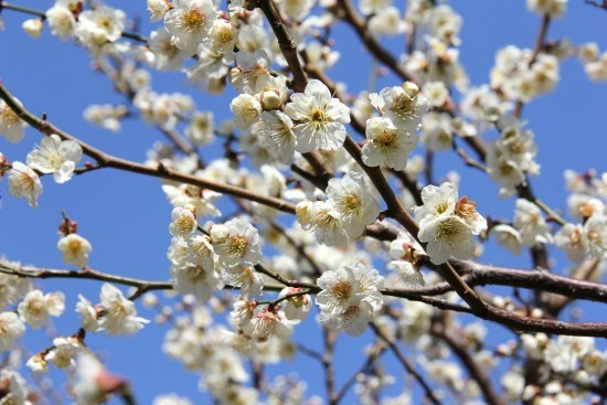 Schauweckers japan travel blog tokyo plum blossom report close up of some white plum blossoms mightylinksfo