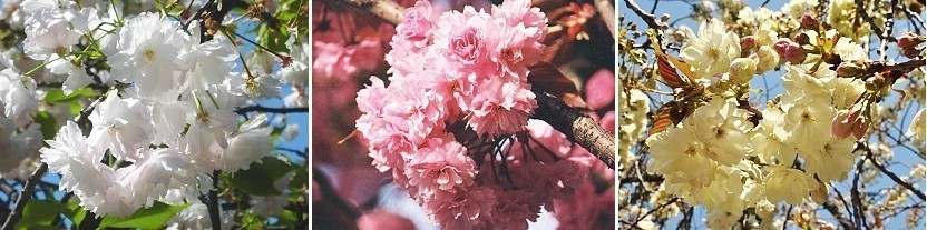 A Beginners Guide To Cherry Blossom Viewing Cherry Tree Varieties