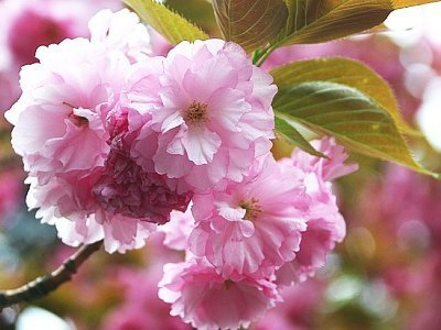 a beginner s guide to cherry blossom viewing cherry tree varieties