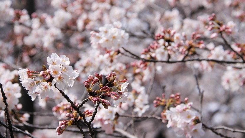 Image result for cherry blossoms japan cold