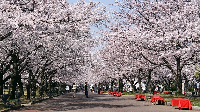 A Beginners Guide To Cherry Blossom Viewing When Do The Cherry