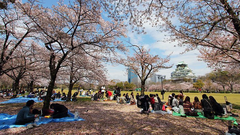 Nishinomaru Garden during the cherry blossom season
