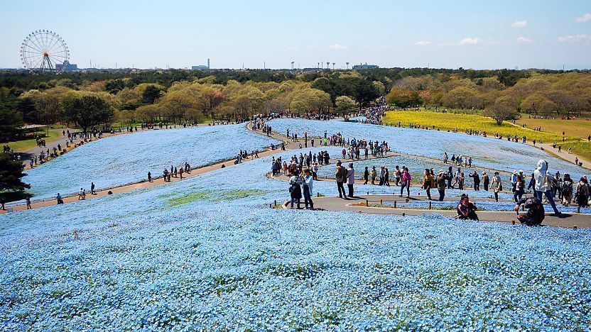 Ibaraki Travel: Hitachi Seaside Park (Hitachi Kaihin Koen)