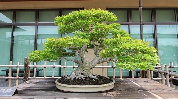 Bonsai - where to see bonsai in Japan