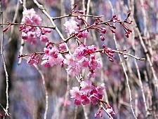 A beginners guide to cherry blossom viewing cherry tree varieties shidarezakura weeping cherry mightylinksfo