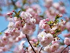 Cherry Tree Varieties Pictures