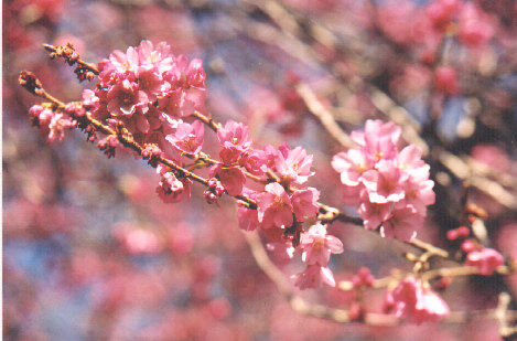 Vancouver sakura diary beginners guide pink flowers mightylinksfo