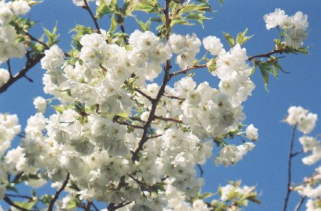 Vancouver sakura diary species shirotae cherry the shirotae cherry also called mount fuji cherry is a yae zakura with large very white blossoms and bright green leaves that appear at the same time as mightylinksfo