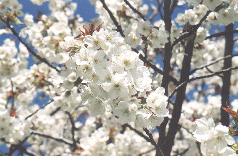 Big White Flowers For Tree Flowers Healthy